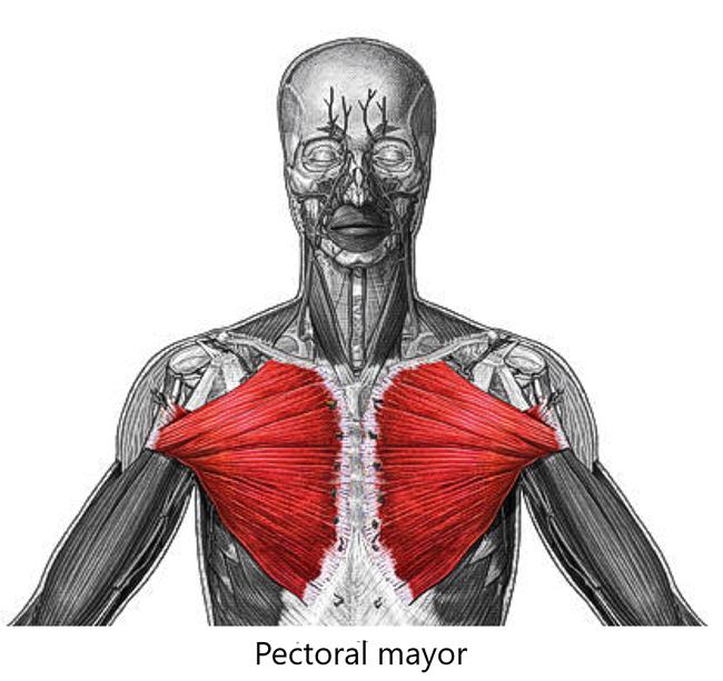 Músculo peitoral maior ou Pectoralis major é um músculo localizado no tórax.